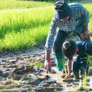 กิจกรรมดำนา เด็กและผู้ใหญ่ วันเสาร์ อาทิตย์ 10.30 Rice planting activity Sat & Sun 10.30 am. ณ แฮงตึง ฟาร์ม เชียงใหม่ Hang Tueng Farm